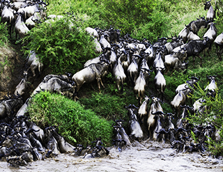 Boutique Safaris, conservation, safaris, african safaris, wild safaris, wildlife safaris, Elephant Watch Portfolio, Nairobi, Kenya, migration, wildebeest migration, wildebeest, wildlife migration, Maasai Mara, Africa's wildlife reserve, wildlife reserve, Maasai Mara National reserve, popular destinations