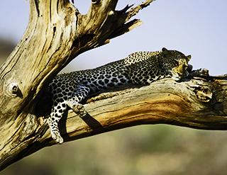 Boutique Safaris, conservation, safaris, african safaris, wild safaris, wildlife safaris, Elephant Watch Portfolio, Nairobi, Kenya, leopard, Maasai Mara, Africa's wildlife reserve, wildlife reserve, Maasai Mara National reserve, popular destinations