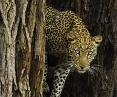 Elephant Watch Camp, leopard, Big Five animals, Samburu National Reserve, wild safaris, wildlife safaris, Elephant Watch Portfolio, conservation, Nairobi, Kenya