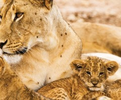 lioness, lion cubs, Big Five animals, wildlife, wild safaris, wildlife safaris, conservation, Elephant Watch Camp, Samburu National Reserve, Elephant Watch Portfolio, Nairobi, Kenya