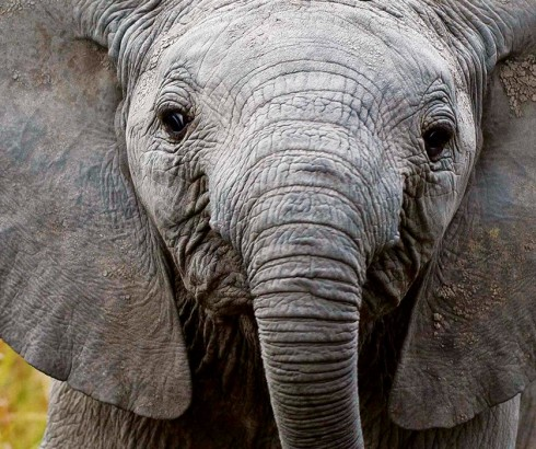 Elephant Watch Camp, Samburu National Reserve, wildlife, wild safaris, wildlife safaris, conservation, Elephant Watch Portfolio, Nairobi, Kenya, experience, activities, game drives, safari, elephants, elephant calf, baby elephant