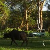 Buffaloes, wildlife, wild safaris, Olerai House, sanctuary, Naivasha, Lake Naivasha, Elephant Watch Portfolio, Nairobi, Kenya
