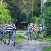 Olerai, Olerai House, Naivasha, sanctuary, Lake Naivasha, Elephant Watch Portfolio, Nairobi, Kenya, Great Lakes, Great Rift Valley, wildlife, wildlife in sanctuary, wild safaris, wildlife safaris, conservation, wildlife conservation, zebras