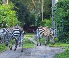 Olerai, Olerai House, Naivasha, sanctuary, Lake Naivasha, Elephant Watch Portfolio, Nairobi, Kenya, Great Lakes, Great Rift Valley, wildlife, wildlife in sanctuary, wild safaris, wildlife safaris, conservation, wildlife conservation, zebras