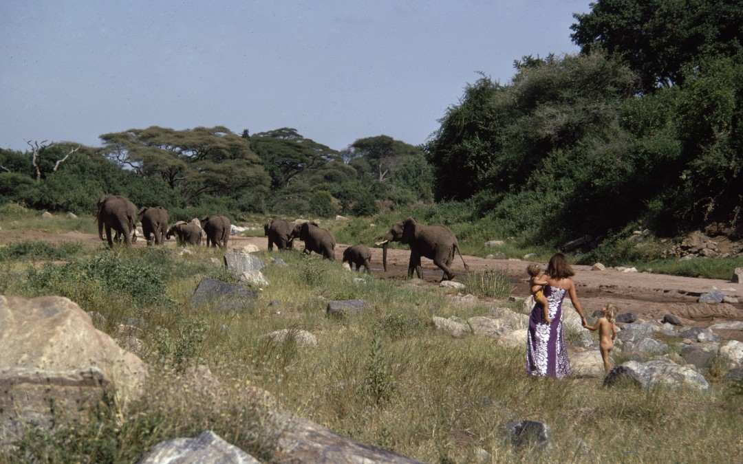 5.1973 Mara in Manyara walking with mother Oria and sister Saba to the elephants