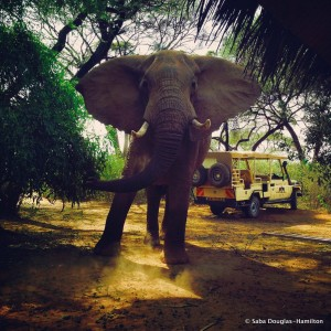 ©Saba Douglas-Hamilton. Sarara the Elephant