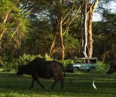 Buffaloes, wildlife, wild safaris, Olerai House, sanctuary, Naivasha, Lake Naivasha, Elephant Watch Portfolio, Nairobi, Kenya
