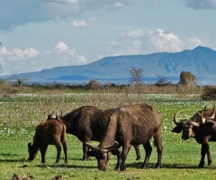 Olerai, Olerai House, Naivasha, sanctuary, Lake Naivasha, Elephant Watch Portfolio, Nairobi, Kenya, Great Lakes, Great Rift Valley, wildlife, wildlife in sanctuary, wild safaris, wildlife safaris, conservation, wildlife conservation, buffaloes, Mt. Longonot